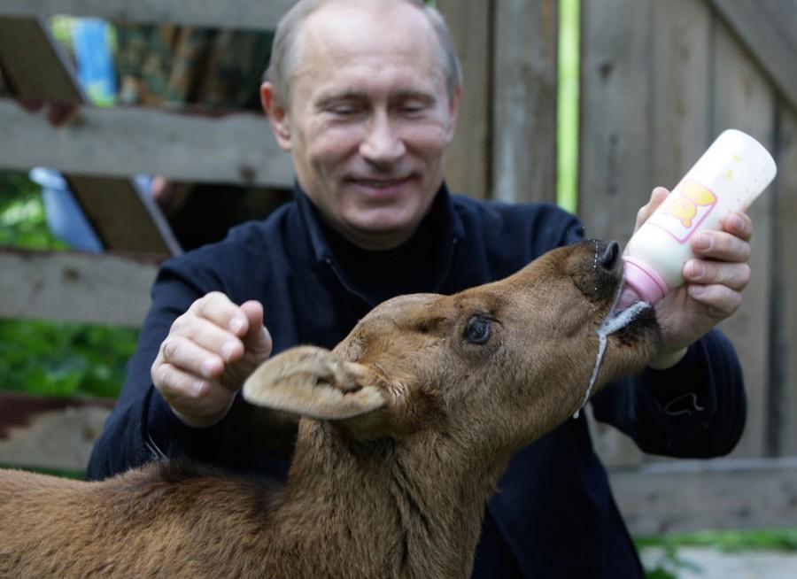 Владимир Путин кормит молодого лосенка в национальном парке «Лосиный остров» на северо-востоке Москвы, 5 июня 2010 года